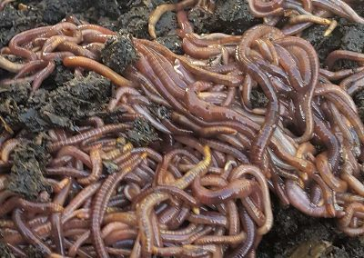 Compost Worms & Soldier Flies