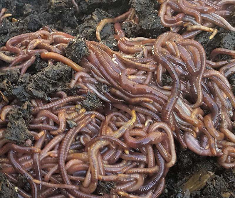 Compost Worms & Soldier Flies